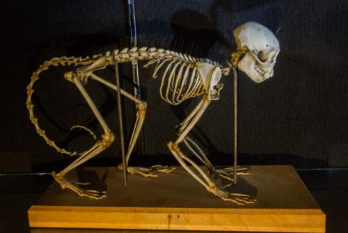 Squelette de Macaque